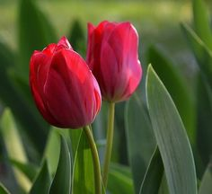 Pink Yellow, Red And Pink, Beautiful Gardens, Beautiful Flowers, Tulip Drawing, Tulips Flowers, Roses, Flower Power, Spring