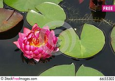 Free Lotus Stock Photography - 6655302