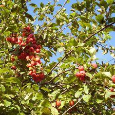 Malus 'Cowichan apple'