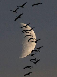 A flock of migrating cranes flies in front of the moon in Linum near Berlin on October 13, 2010.