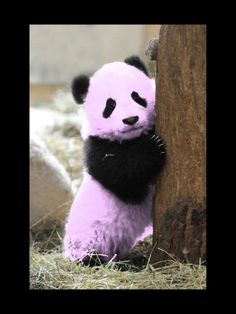 This is my pet panda Blossom