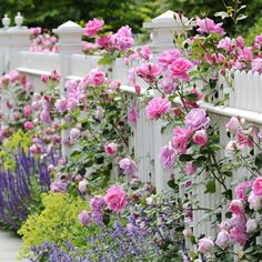 Living Fence Plants and Ideas Beautiful Roses, Beautiful Gardens, Beautiful Flowers, Simply Beautiful, Exotic Flowers, Purple Flowers, Fence Plants, Garden Shrubs, White Picket Fence