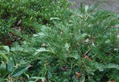 Cephalotaxus harringtonia 'Prostrata' Japanese Plum Yew * Shrub * Can be used as a ground cover; * Sun to partial shade * moist, well-drained soil * drought tolerant Yew Shrub, Dry Shade Plants, Japanese Plum, Drought Tolerant, Landscaping Ideas, Shrubs, Islands, Deer, Foundation