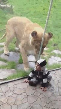Is it wrong to feel bad for the lion? gif of Lion trying to eat a baby through the glass. It gets funnier the more you watch it.