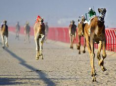 Robot Driven Camels!!!  International Camel Race  Technology marches on in Kebd, Kuwait, where robot-driven camels lit up a six-kilometer race that left everyone breathless.