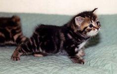 I want a Manx kitten!