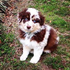 Miniature Red Merle Australian Shepherd Puppy, Brady, isn't he the cutest! Adorable mini Aussie!! Two different colored eyes on this Aussie! #australianshepherdpuppy