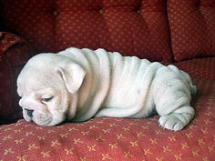 White bulldog puppy on a red couch