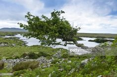 trees in bogs ireland - Google Search