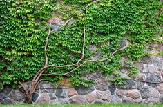 Ivy // Amazing Rock Wall Plants and flowers. Beautiful ground covers, plants, flowers and bushes that are perfect for rock wall landscapes. Rock Wall Landscape, Landscape Design, Garden Design, Mountain Landscape, Landscaping With Rocks, Landscaping Plants, Fence Plants, Garden Planters, Landscaping Ideas