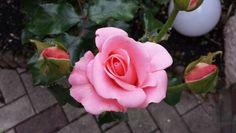Rosa Rose @katjahaaf