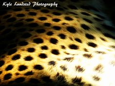 A zoomed in photograph of a Cheetah at Naples Zoo taken by a Canon PowerShot SX510 HS.