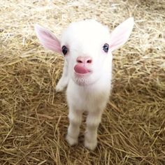 "21 Baby Animals Who Know How to Make Us Go ""Aww"" funny captions funny humor funny memes animal funny Baby Farm Animals, Baby Animals Super Cute, Baby Animals Pictures, Cute Little Animals, Cute Animal Pictures, Cute Funny Animals, Animals And Pets, Wild Animals, Cute Animal Humor"