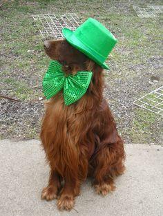 Shanahan the Irish Setter celebrates St. Patty's Day