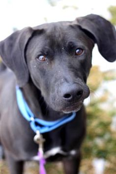 4 / 24      Petango.com – Meet Winchester, a 2 years 2 months Hound / Retriever, Labrador available for adoption in Springfield, MO Contact Information Address  3161 W Norton Road, Springfield, MO, 65803  Phone  (417) 833-2526  Website  http://www.swh.org  Email  boconnell@swh.org