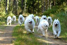 Looks like a runaway sled team to me! Happy Animals, Animals And Pets, Funny Animals, Cute Animals, Samoyed Dogs, Pet Dogs, Doggies, Beautiful Dog Breeds, Beautiful Dogs