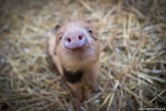 Edgars Mission - Elvis Pigsley, pig-2