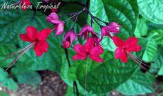 Híbrido entre dos especies de trepadoras del Género Clerodendrum. Clerodendrum…