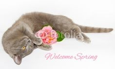 Welcome spring card with chartreux cat and pink camellia. #Spring #Card #Cat #Kitten #Chartreux #Gray #Pink #Flower #Nature #Portrait #Copyspace #Background