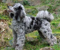 Beautiful blue merle standard poodle