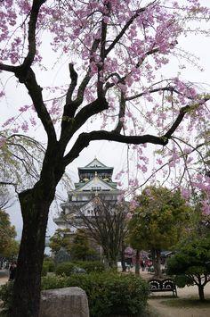 Osaka castle Sakura blooming