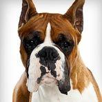 Boxer : Dog Breed Selector : Animal Planet