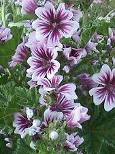 ZEBRA MALLOW (Malva sylvestris 'Zebrina') 20 seeds