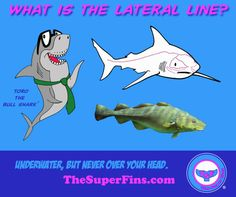 What is a shark's lateral line? - The Super Fins Shark S, Marine Biology, Marine Life, Underwater, Line, Fun Facts, Fishing Line, Funny Facts
