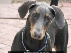 The Doberman Pinscher is among the most popular breed of dogs in the world. Known for its intelligence and loyalty, the Pinscher is both a police- favorite bree Doberman Pinscher Blue, Blue Doberman, Doberman Mix, Aggressive Dog Breeds, Doberman Training, Dog Training, Can Dogs Eat, Miniature Pinscher, Service Dogs