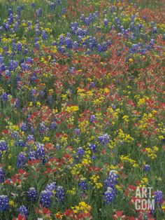 Meadow of Texas Bluebonnets, Indian Paintbrush, and Low Bladderpod Flowers in the Texas Hill Country. c.