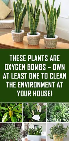 These Plants Are Oxygen Bombs U2013 Own At Least One To Clean The Environment  At Your. More Information. More Information. Indoor Herb Gardening For  Beginners ...