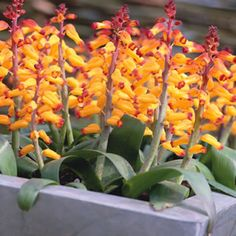 Lachenalia aloides var quadricolour  Quadricolour has yellow, red and green bell shaped blooms.
