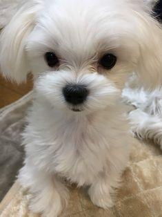 Beautiful little Maltese. Cute Little Puppies, Cute Cats And Dogs, Cute Dogs And Puppies, Animals And Pets, Baby Animals, Cute Animals, Doggies, Puppy Dog Eyes, Dog Cat