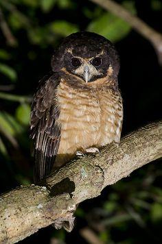 Tawny-browed Owl  murucututu de barriga amarela