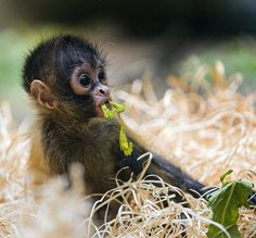 baby spider monkey | Flickr - Photo Sharing!