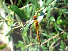 2014年9月2日(火)おはようございます。秋らしい心地よい日差しが降り注ぐ加古川。店先に置いているオリーブの木にトンボが羽を休ませに来るようになりました。全体的に黄色っぽい感じだから「ショウジョウトンボ」かな?久し振りにじっくりと昆虫観察。子供に教えると「捕まえて~」という話になるので、彼らのために内緒にしておきます(^^  それでは、今日も皆様にとって良い1日になりますように☆ 【加古川・藤井質店】http://www.pawn-fujii.jp/