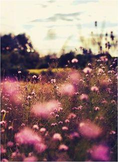 purple nettle field