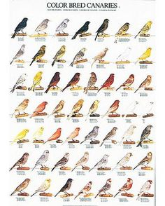 Canary Color Bred Identification Poster Part 1 is a beautiful full color posters that documents and identify each species. Laminated and is ready to hang. Serin, Goat Fence, Bird Breeds, Zebra Finch, Canary Birds, Bird Types, Types Of Colours, Australian Birds, Horse Pictures