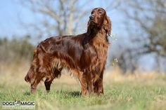 Irish Setter ~ Classic Look & Trim ~ Enya de la Cour Saint Florent