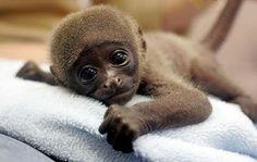 These adorable baby monkey pictures will make even the worst days better 🙂. So Cute Baby, Cute Baby Monkey, Cute Monkey, Cute Baby Animals, Cute Babies, Funny Animals, Monkey Monkey, Animal Babies, Primates