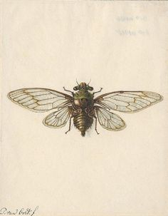 Iconographia Zoologica; Cicada from the genus Ficicina