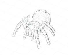 how to draw animals spiders, popular species, anatomy and movement Cartoon Drawings Of Animals, Cute Animal Drawings, Animal Sketches, Art Drawings Sketches, Easy Drawings, Draw Animals, Pet Spider, Spider Art, Cartoon Drawing Tutorial