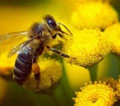 Včelie produkty zaručujú dlhovekosť. #vcela #vitamin #priroda #apitherapie #natur #leben #biene