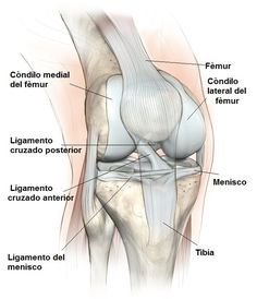 Anatomy of dogs pelvis google search httpmeddybear anatoma rodilla cruzada colaterales meniscos huesos y tendones rotuleo cndilos ccuart Choice Image