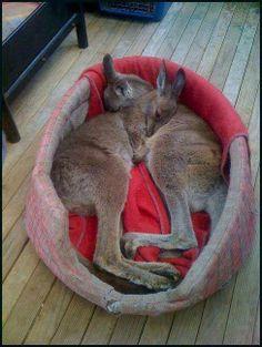 Takin' a Kangaroo Nap