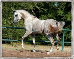 egyptian arabian horses | Shakir El Nefous | Egyptian Arabian Horses - Arabians LTD.