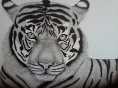 Tiger.  Large pen and ink drawing . Yvonnemayartist.co.uk