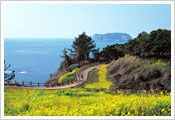 Jeju Canola Flower Festival   Dates: April 20 - April 29, 2012  Venue: Jeju-do Seogwipo-si Pyoseon-myeon Gasi-ri Noksan-ro and Mount Daeroksan areas  Description: The Jeju Canola Flower Festival is a major festival of Jejudo Island that draws a large group of tourists every year. A magnificent field of canola stretches 10 kilometers on both sides of Noksan-ro Road. Walking, hiking and bicycling events are organized along the road.