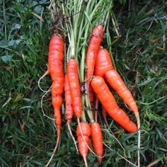 Great tips on growing organic carrots in the garden from The Old Farmer's Almanac.