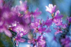 光纏い風靡くツツジの花